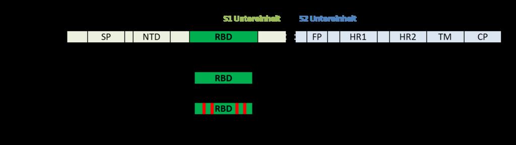 RBD_Regional_Antigenic_Vaccine_quadrupol-Mutante-3.png